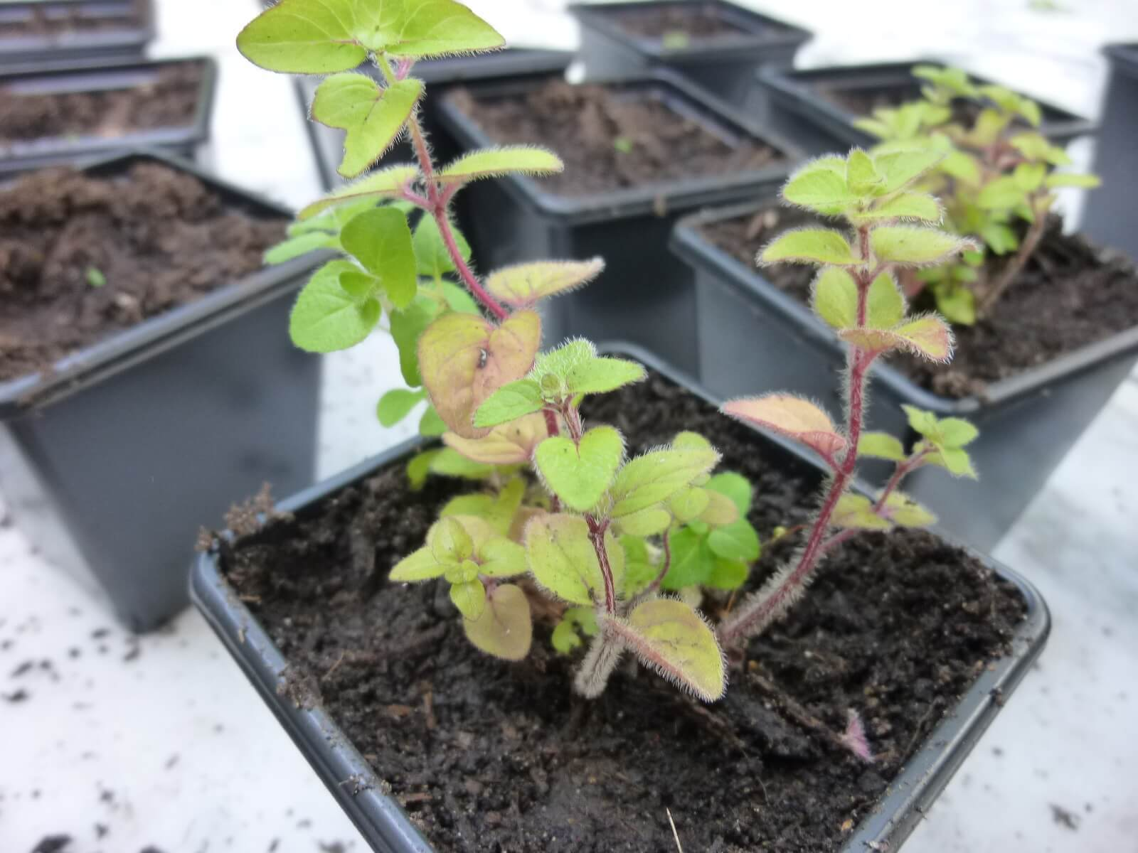 Substitutes for bay leaf, Oregano